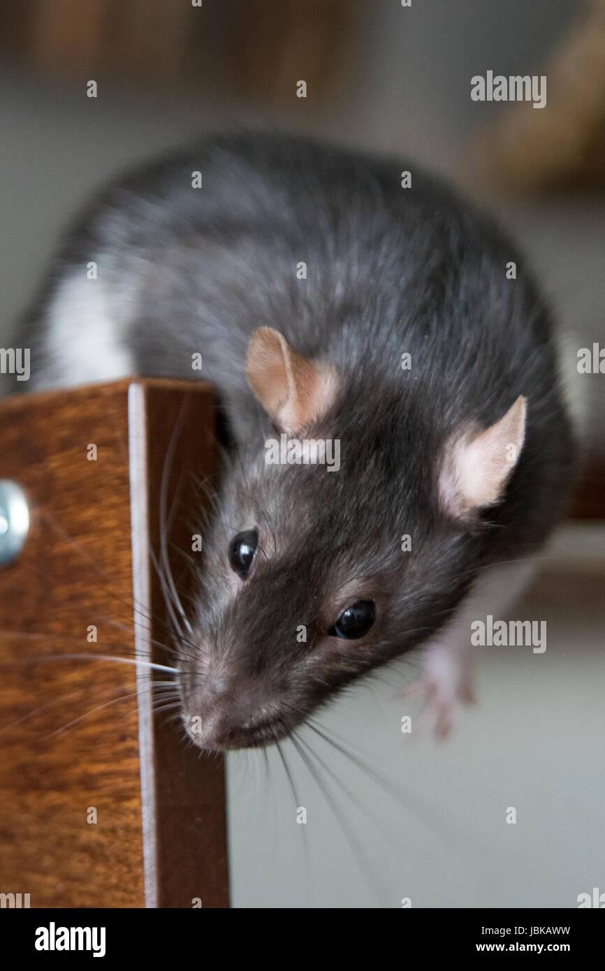 En déplacement chez le rat, houserat Hausratte Farbratte,,, mon animal de compagnie le rat Photo Stock