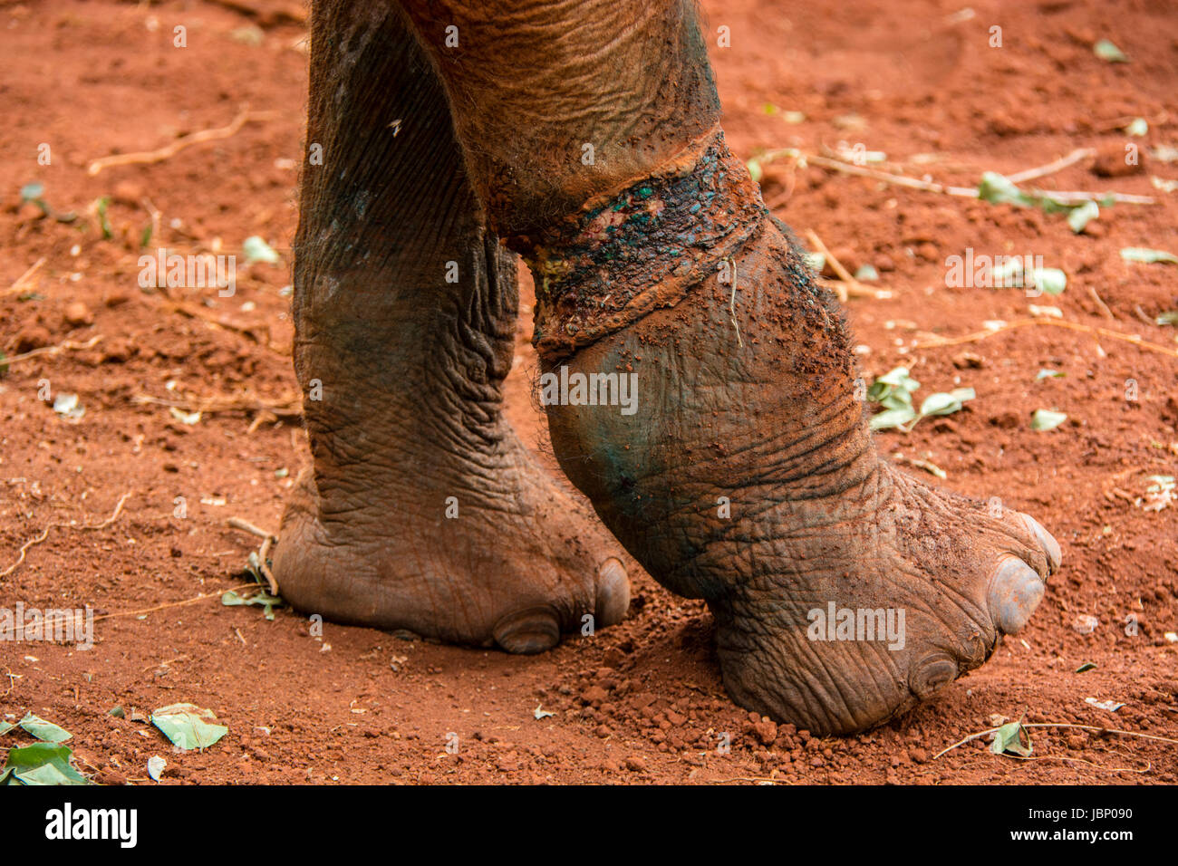 Caisse claire dommage le mollet, un éléphant d'Afrique Loxodonta africana, qui plus tard a causé Photo Stock