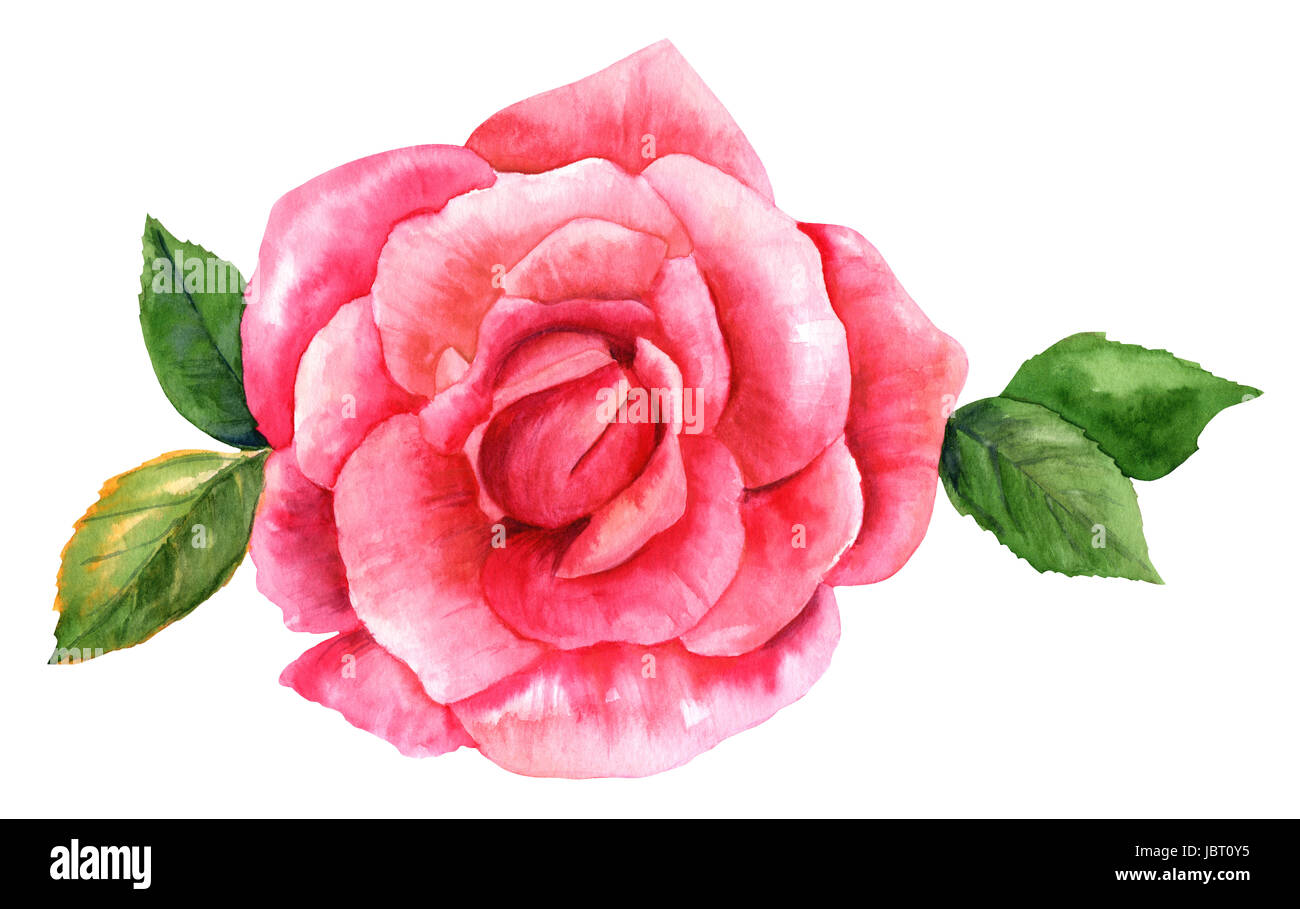 Rose Rose Aquarelle Dessin Isolated On White Banque D Images Photo