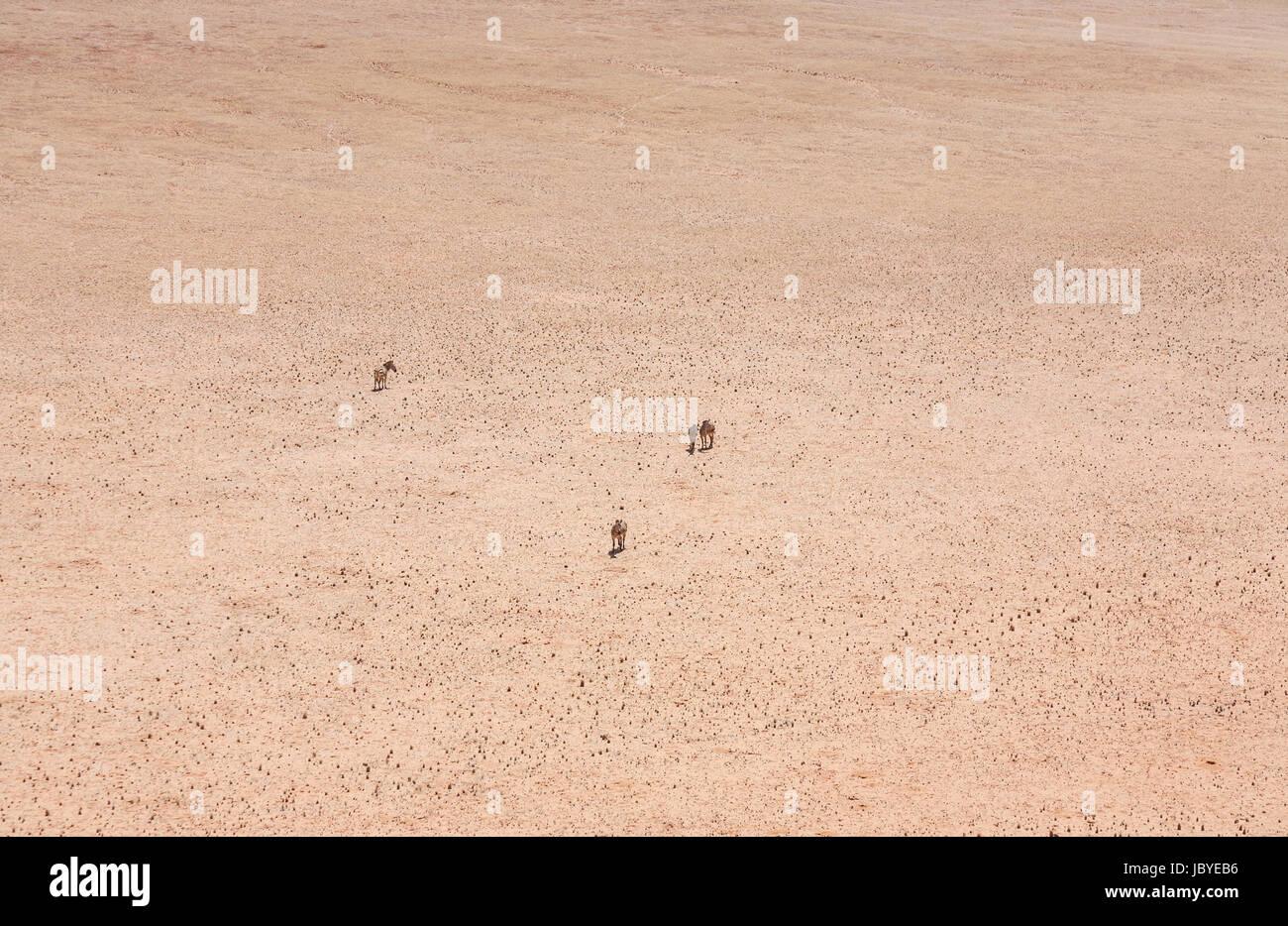 La désolation, l'éloignement: quatre mountain zebra (Equus zebra) debout dans le sombre, searingly chaud, sans caractéristique du désert du Namib, Namibie, Afrique du sud-ouest Banque D'Images