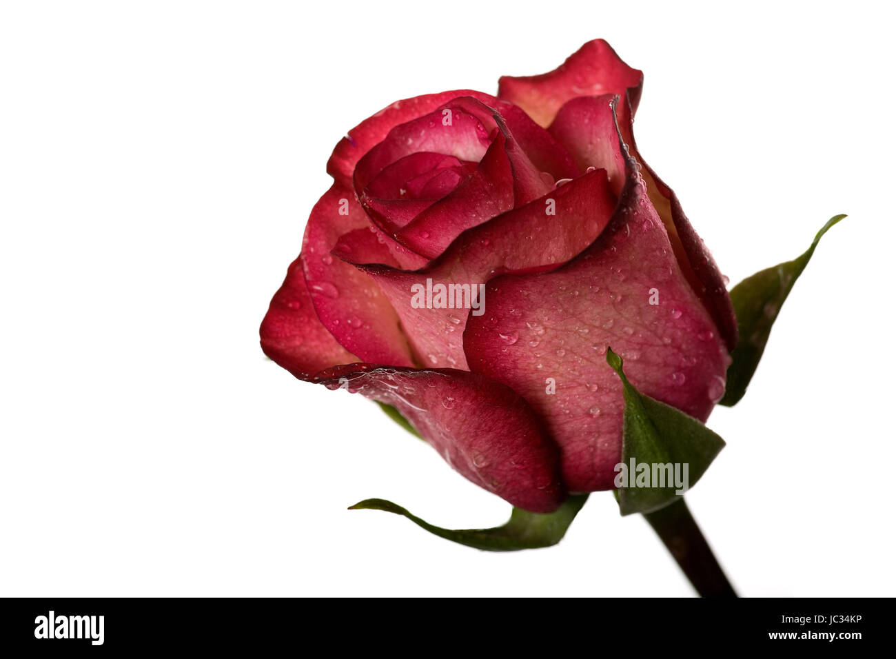 Rose rouge pour des moments spéciaux isolated on White Photo Stock