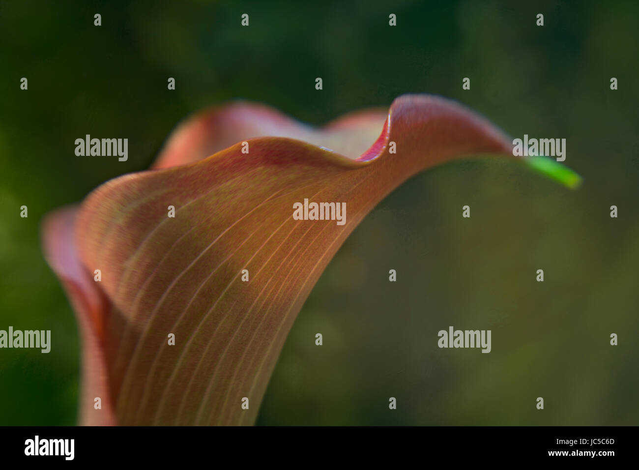 Calla Lilly Texture Background Photo Stock