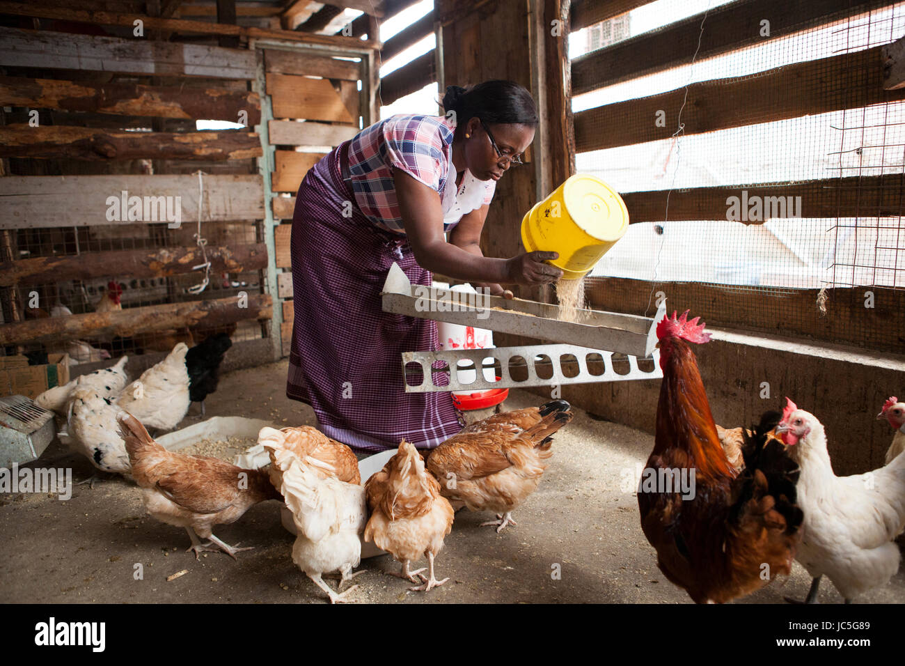 Une petite entreprise femelle éleveur de volailles rss ses poules, Tanzania, Africa Photo Stock