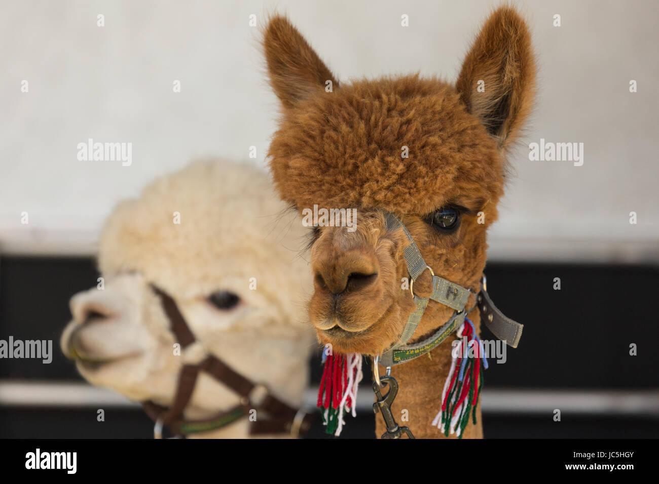 Head shot de deux (2) alpagas en captivité (Vicugna pacos), un brown/gingembre et une couleur blanche sur l'affichage Photo Stock