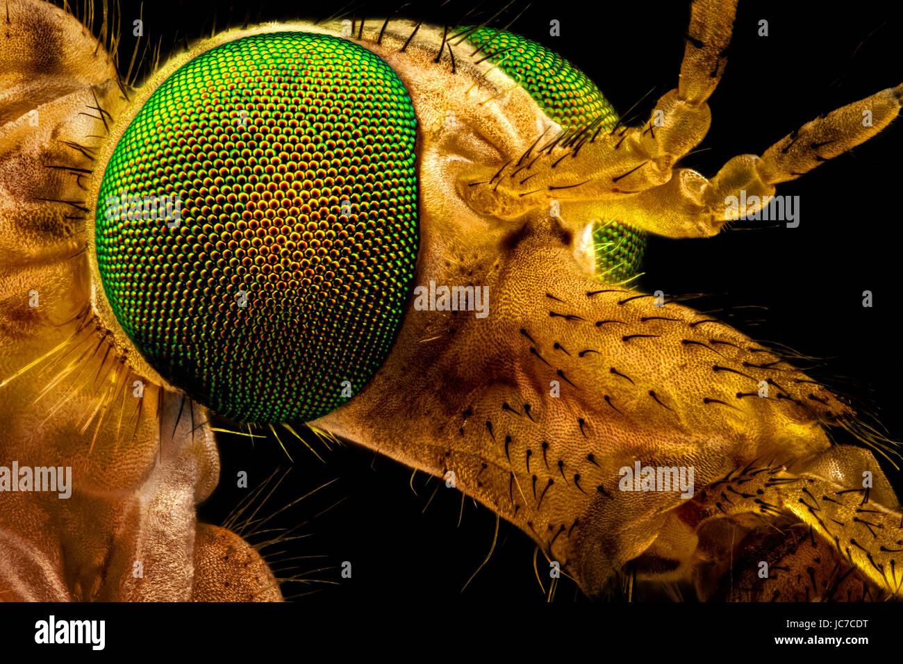 Macro extrême - portrait d'un green eyed tipule, magnifié par l'intermédiaire d'un microscope Photo Stock