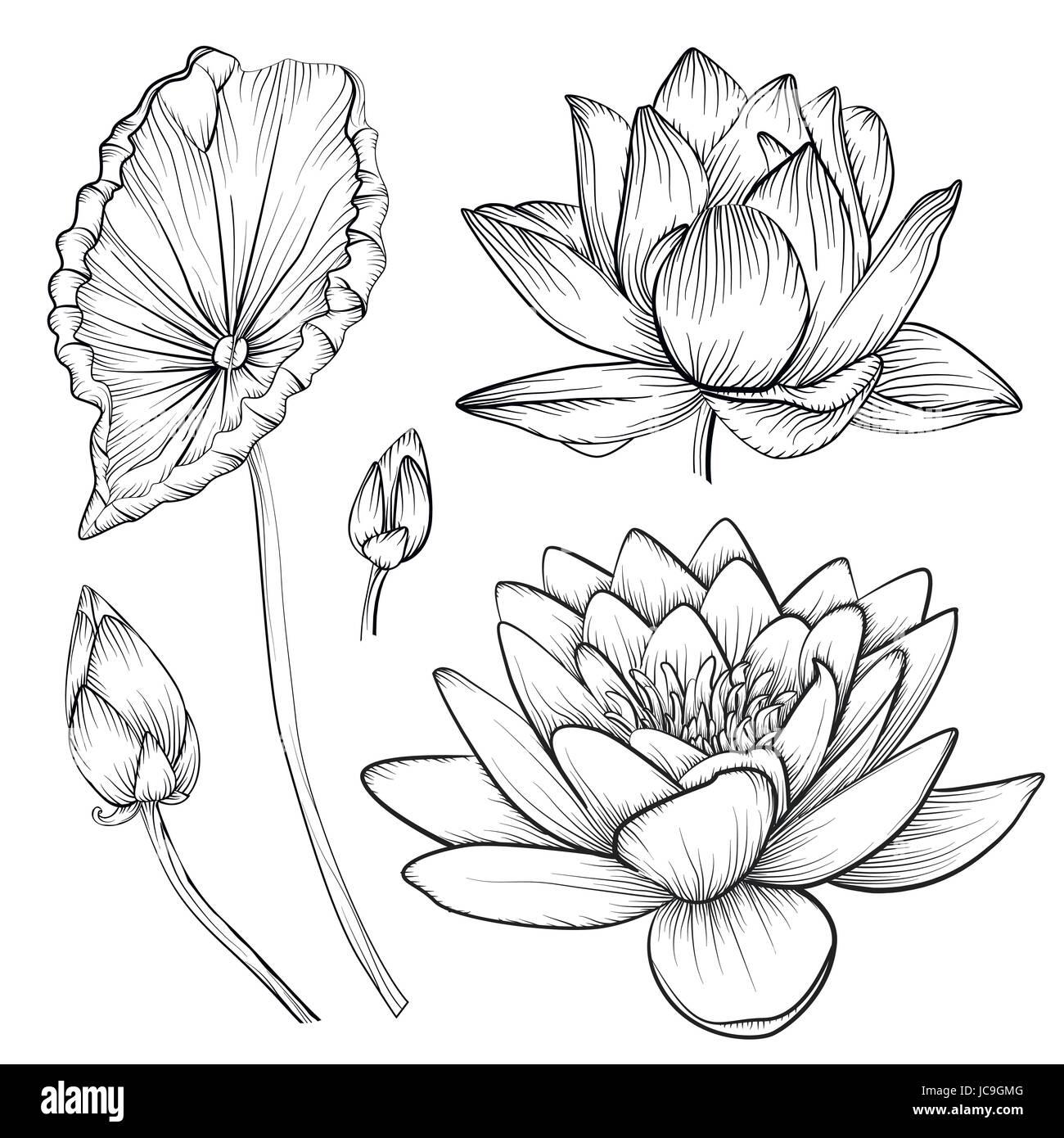 Vecteur Lotus Nenuphar Fleur Magnifique Boutons Jeu De Feuilles
