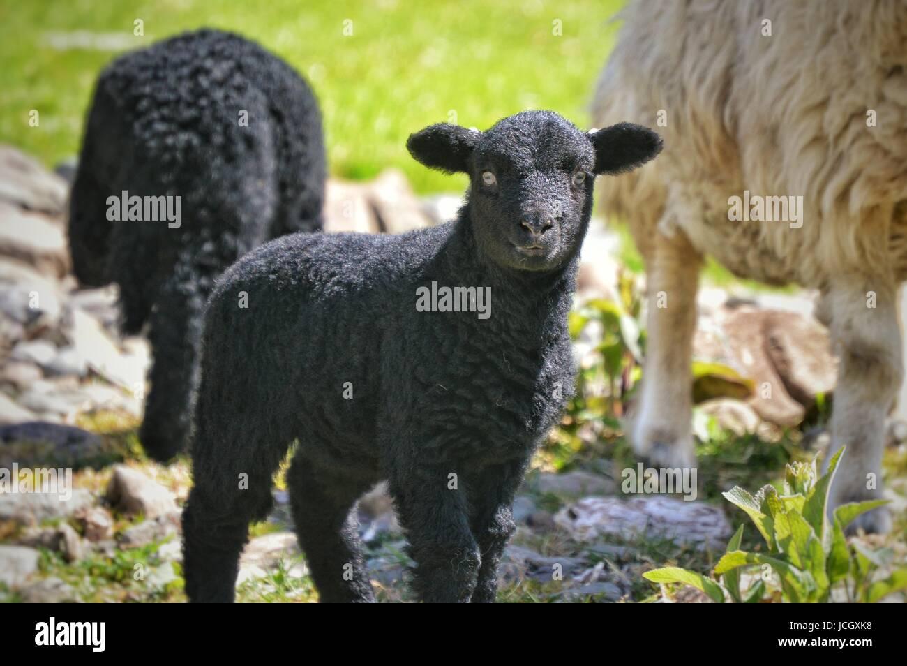 Agneau Herdwick noir près de Watendlath Photo Stock