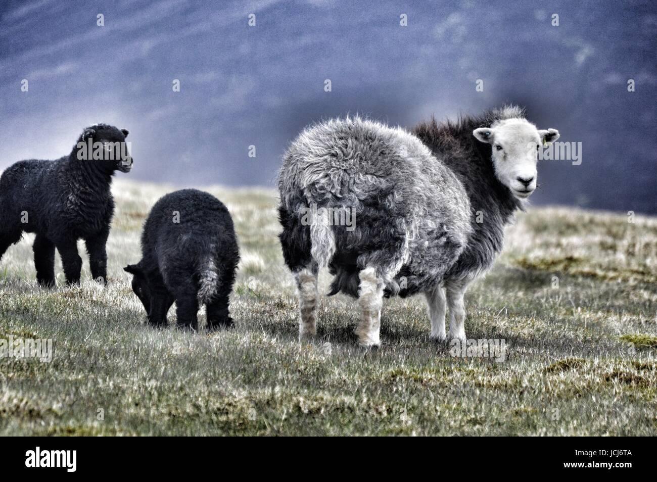 Les brebis et les agneaux Herwick près de Skiddaw Photo Stock