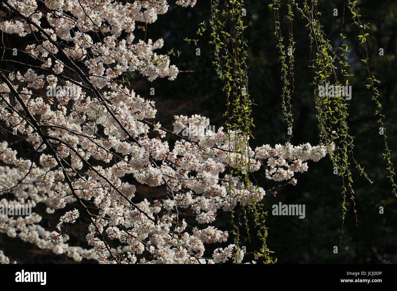 Beau Cerisier Blanc Un Somei Yoshino Dans Fleur Pleine Dans Le