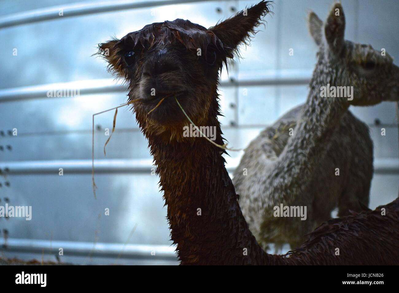 Alpaga mouillé avec de l'herbe dans sa bouche Photo Stock