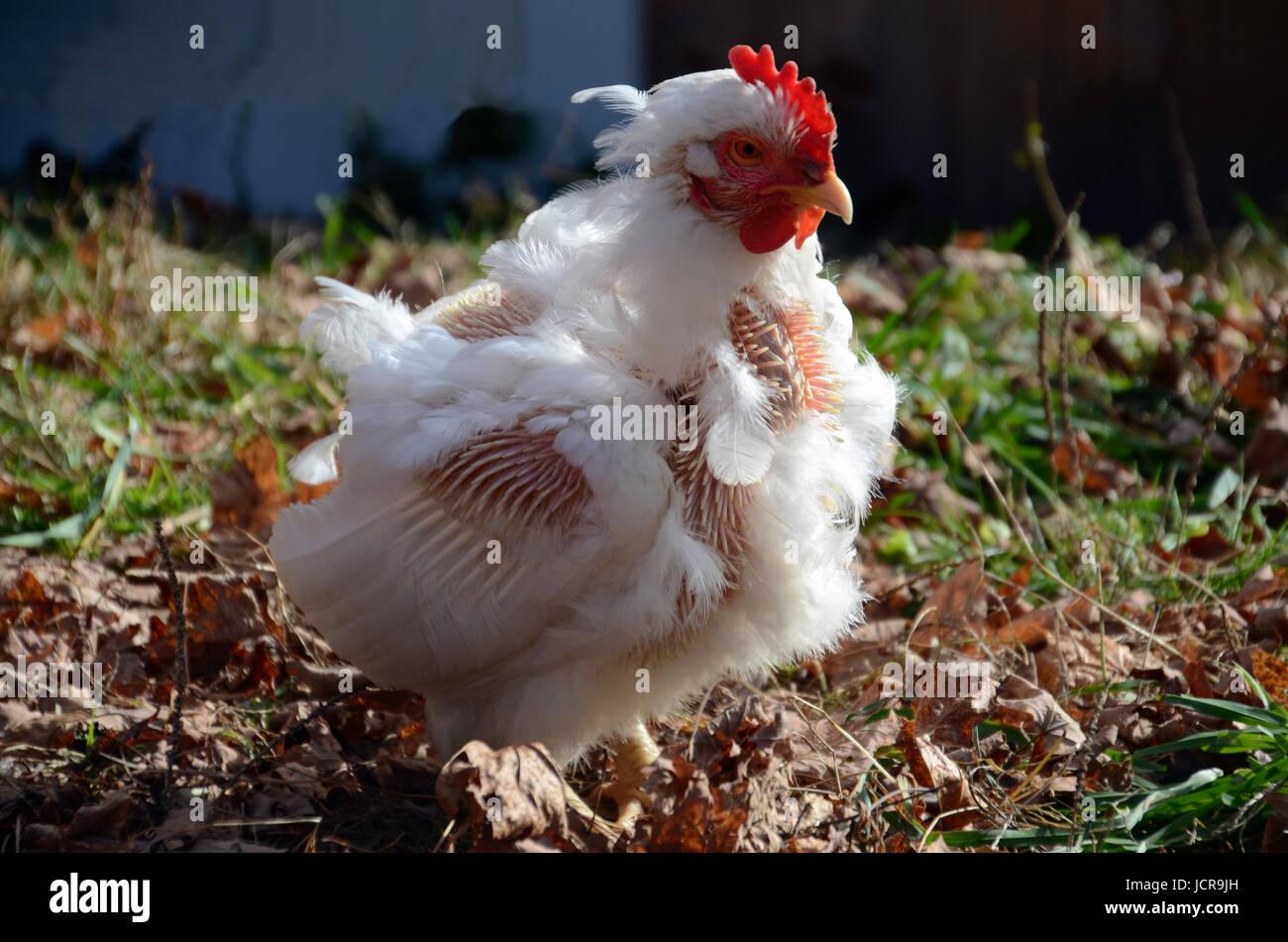 La mue white rock poulet dans le soleil, dans le Maine Photo Stock