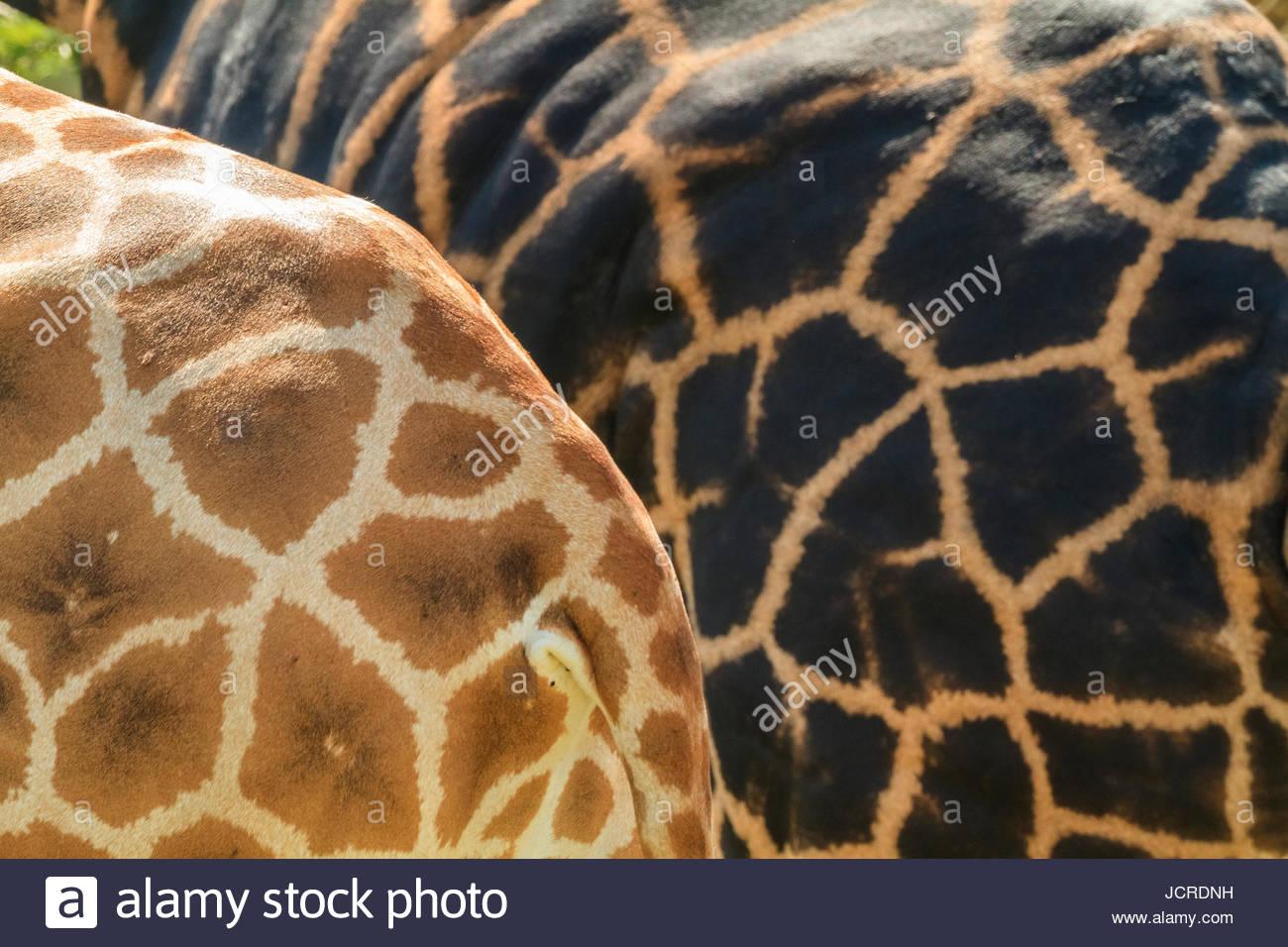 La mosaïque de peau à motifs deux girafes. Photo Stock