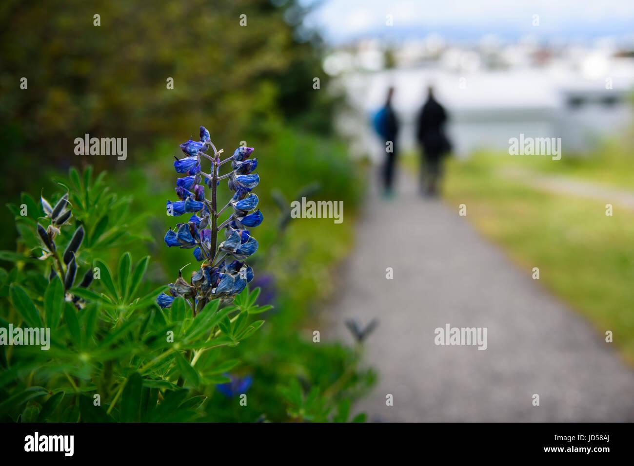 Fleur de lupin. Photo Stock