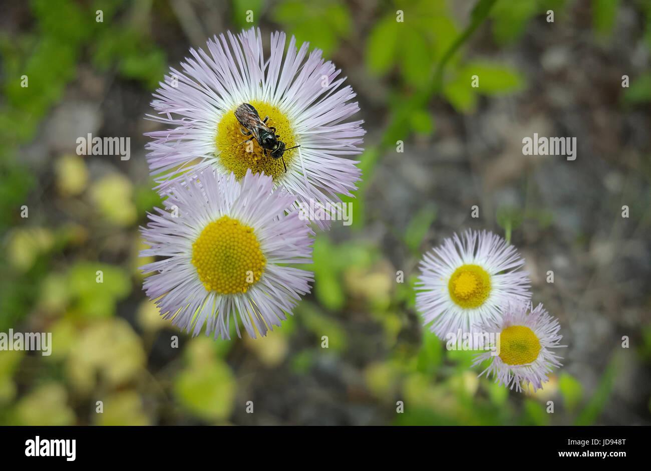 De minuscules fleurs blanches minuscules Ob d'abeilles Photo Stock