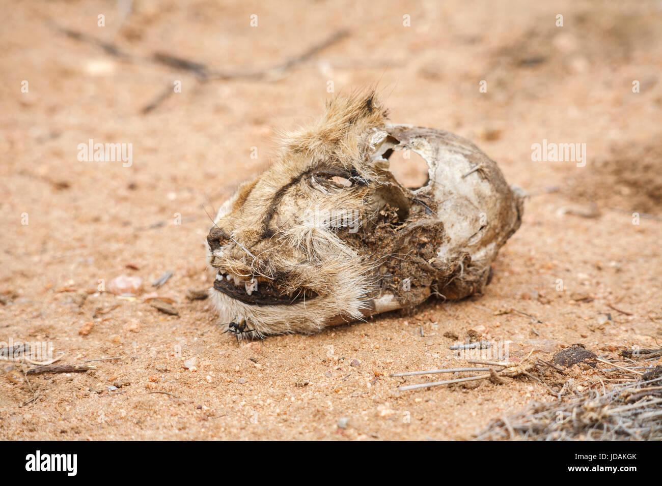 Chef d'un pourri coupé Guépard (Acinonyx jubatus) allongé sur le sol, GocheGanas réserve naturelle privée près de Windhoek, Namibie, sud-ouest de l'Afrique Banque D'Images