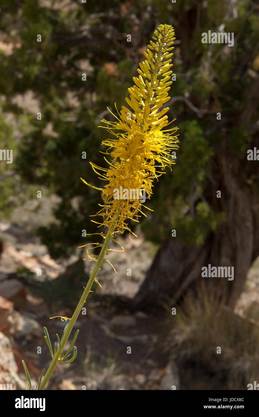 Prince's Plume (Stanleya pinnata), une route commune du sud de l'Utah de fleurs sauvages Photo Stock