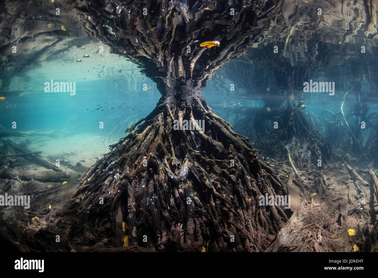 Les racines de mangrove, Rhizophora, Raja Ampat, Papouasie occidentale, en Indonésie Banque D'Images