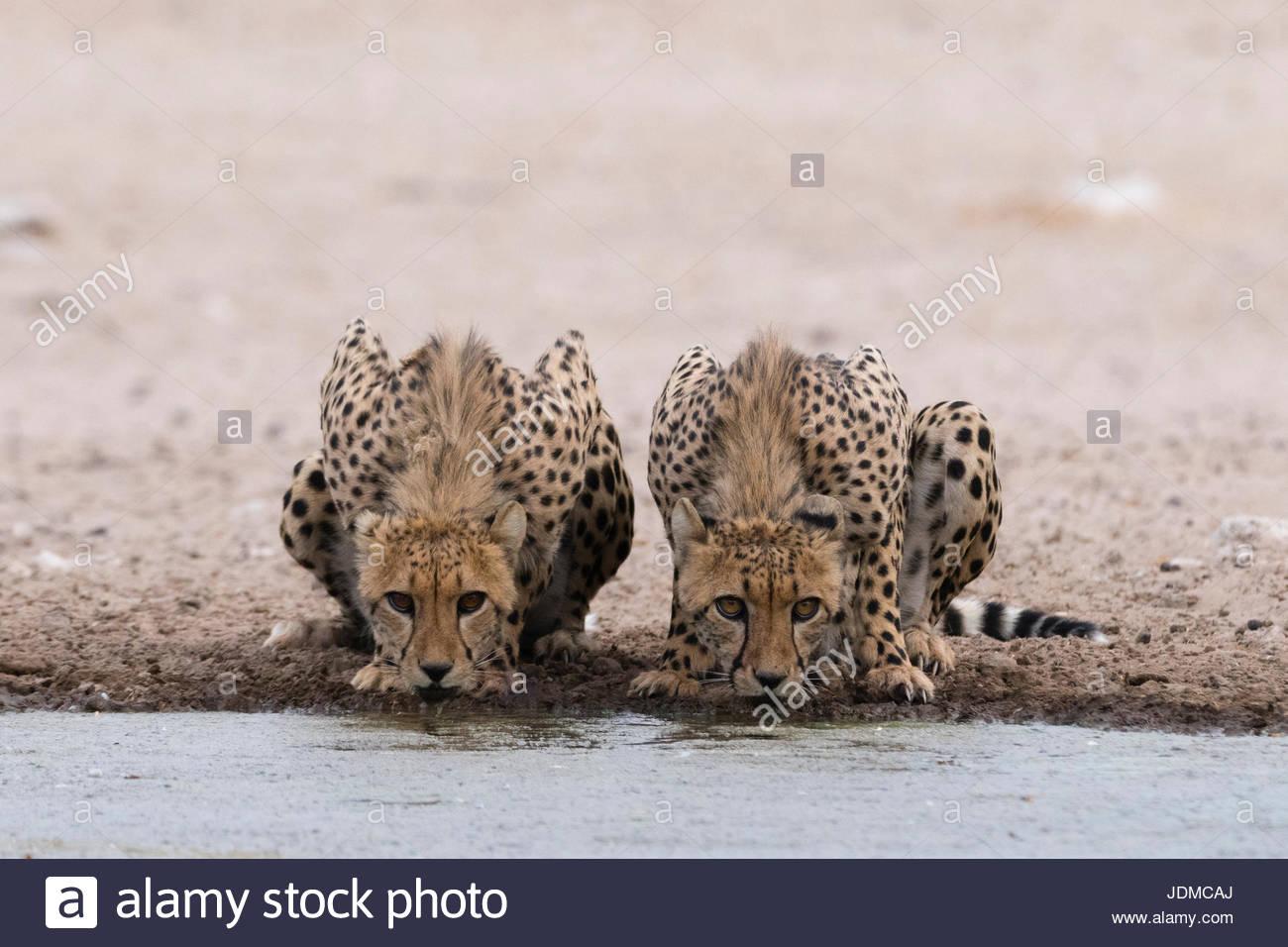 Deux guépard, Acinonyx jubatus, boire à un trou d'eau. Photo Stock