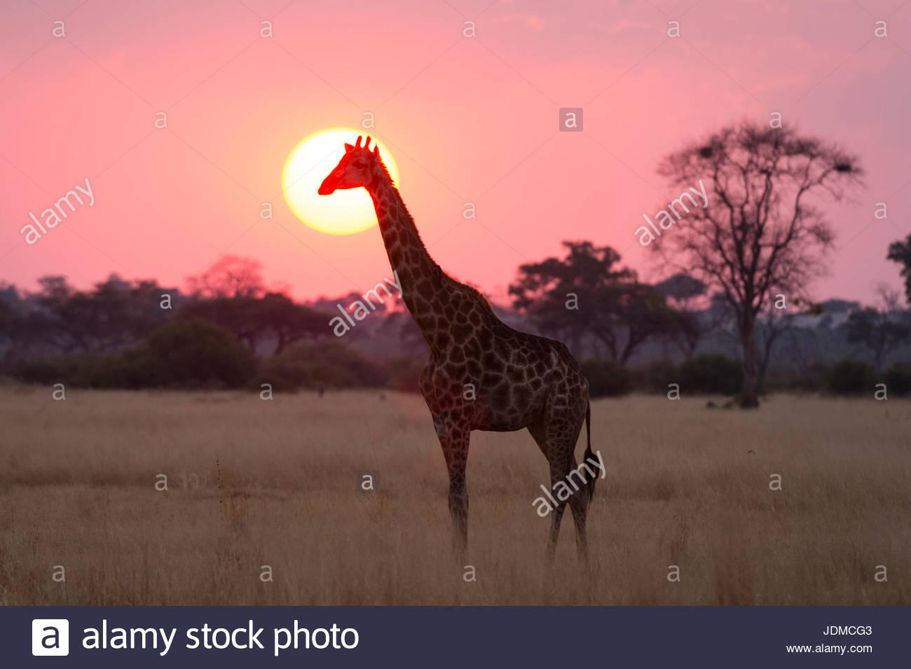 Une girafe, Giraffa camelopardalis, au coucher du soleil. Photo Stock