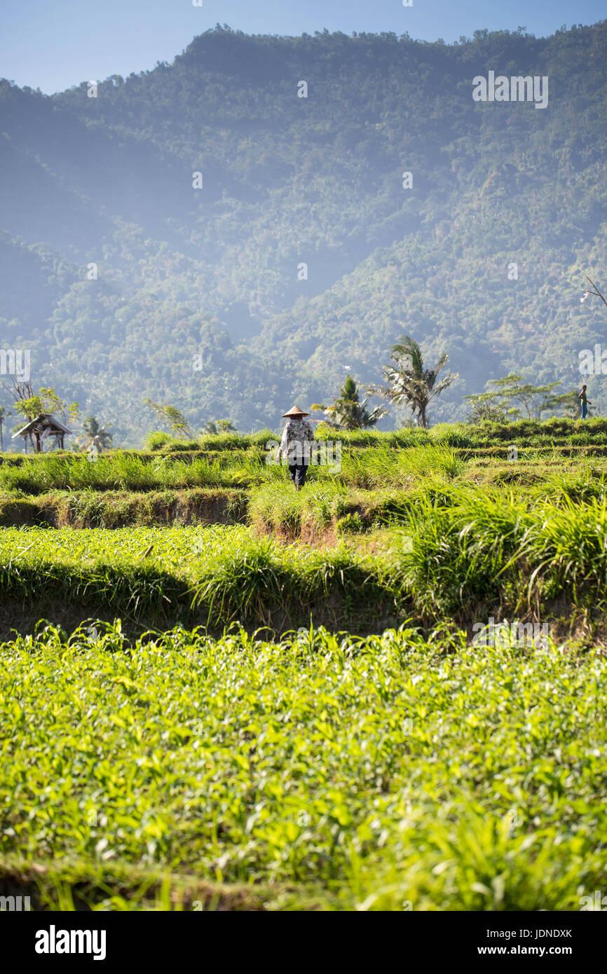 Rizières en terrasse dans le nord de bali près du Mont Agung avec les travailleurs Photo Stock