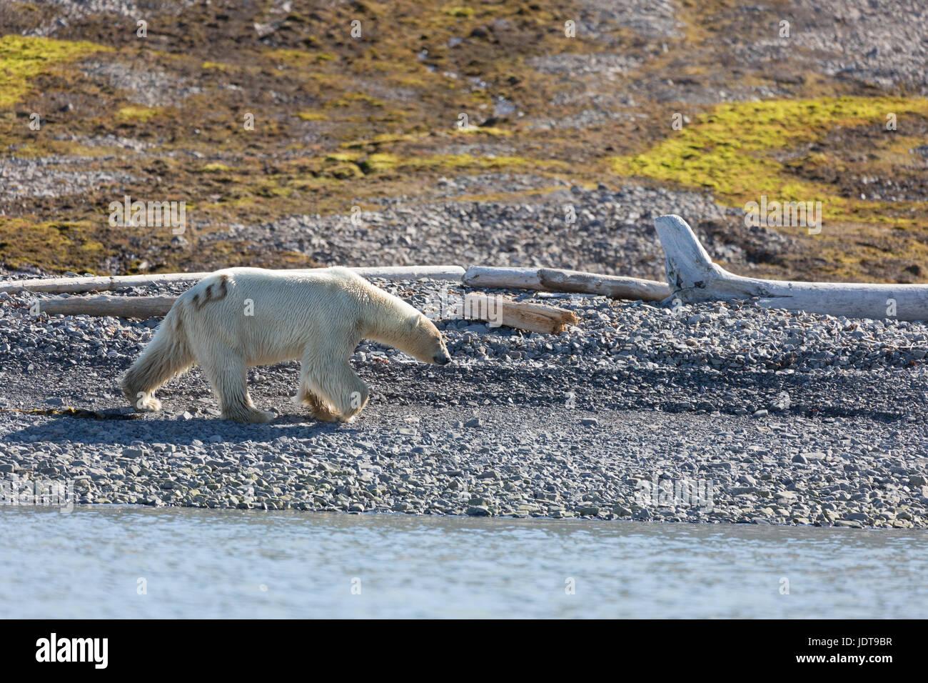 Un ours polaire adultes promenades le long de la plage de galets dans un Mushamna, Spitzberg Photo Stock