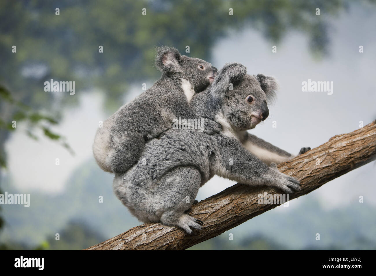 Koala Phascolarctos cinereus, également, le koala gris cendre, femme, porter, jeune animal, l'arrière, Photo Stock