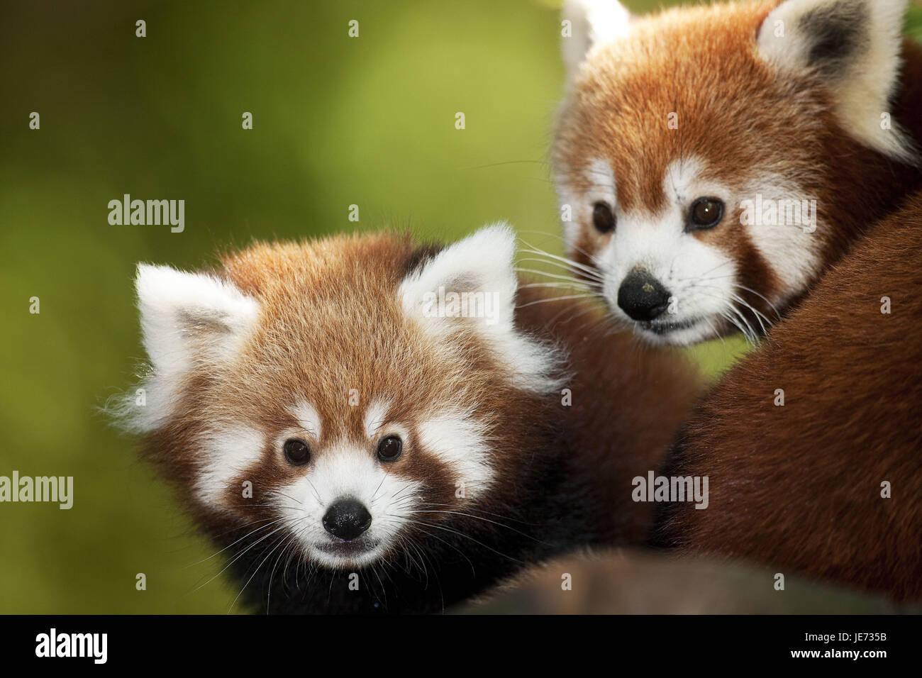 Petit panda Ailurus fulgens, également, le panda rouge, animaux, portrait, Banque D'Images