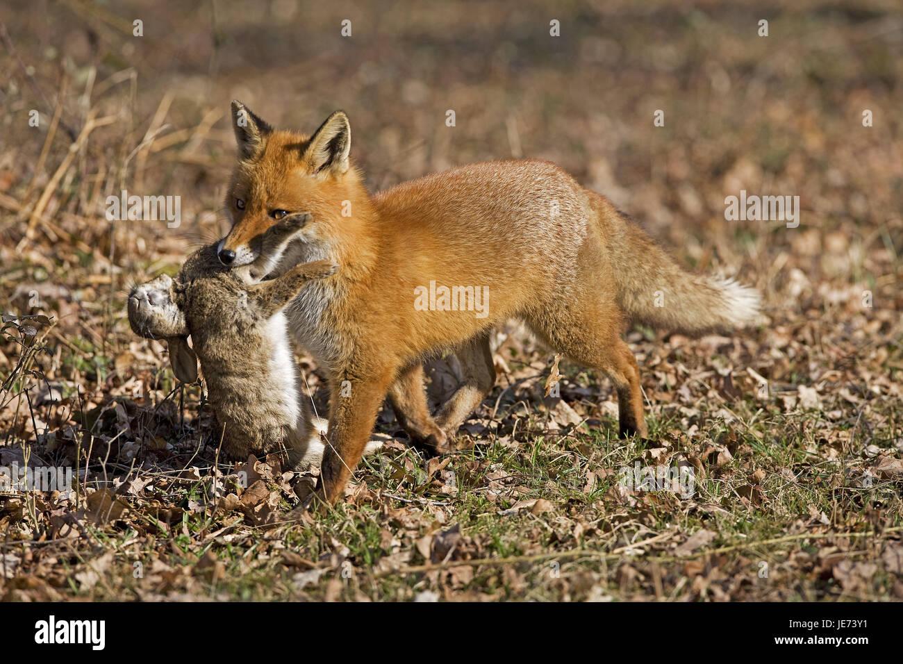 Red Fox avec les proies, Vulpes vulpes, Banque D'Images