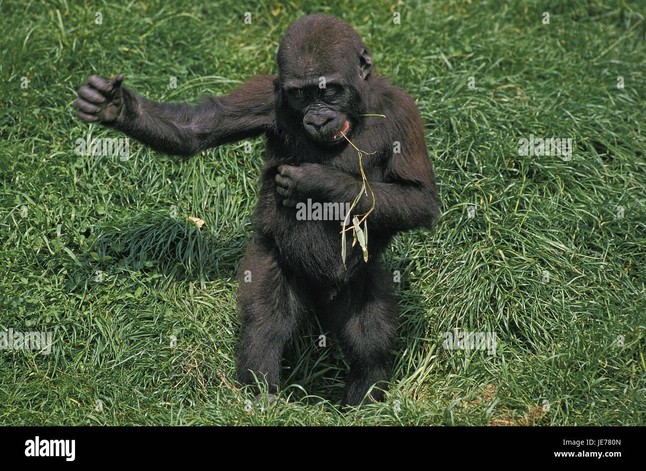 Illustration de gorille, Parc National Impénétrable de Bwindi Parc National  des Volcans du Mont Sabyinyo Gorilla Chimpanzé, Gorilla, amour, mammifère  png   PNGEgg