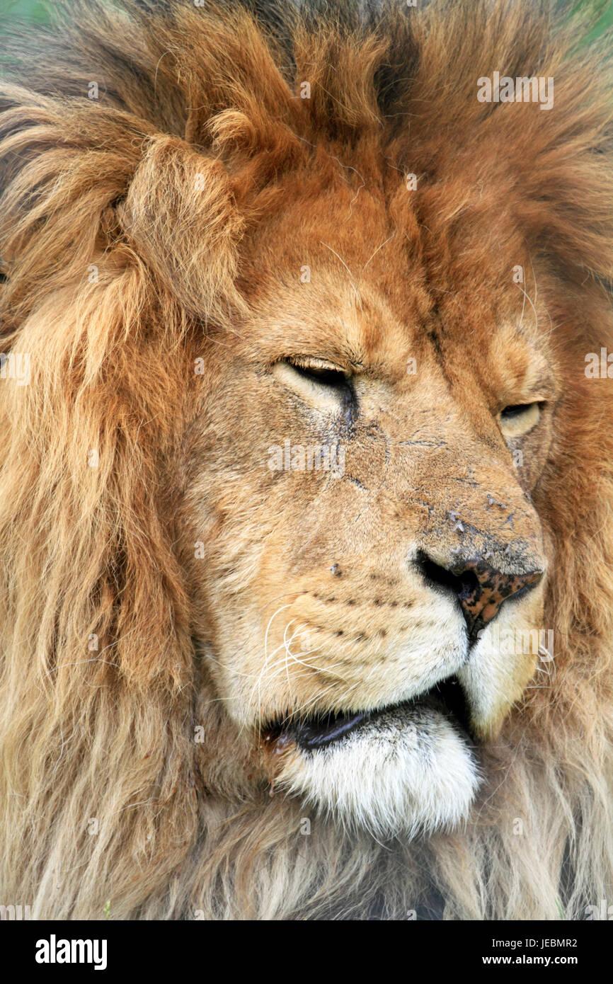 Un lion d'Afrique, Panthera leo, au zoo et musée Space Farms, Sussex County, New Jersey, USA Photo Stock
