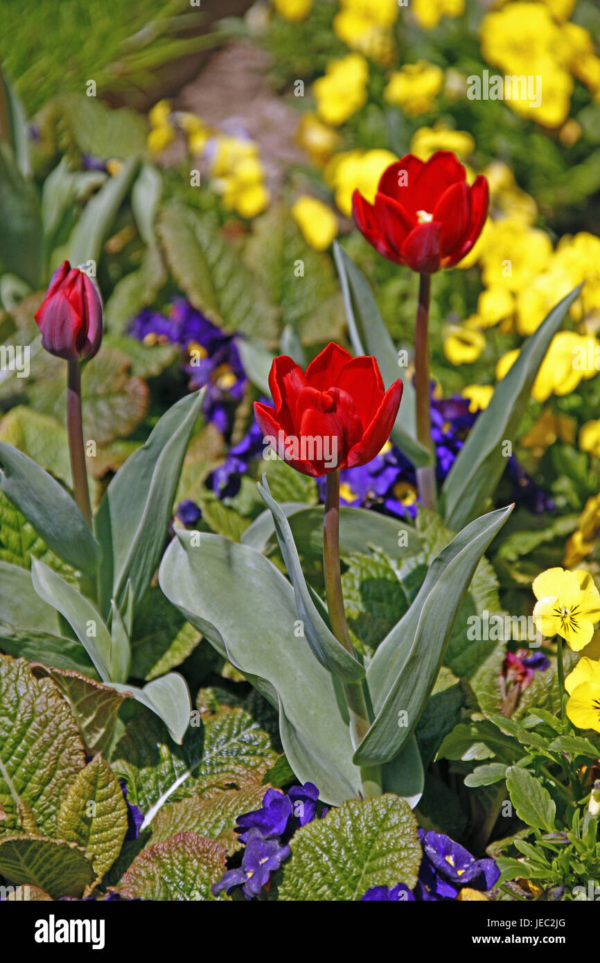 Tulipes, rouge, oranger, printemps, fleurs de printemps, pensées, jaune, violet, Mainau, printemps, saison, Photo Stock
