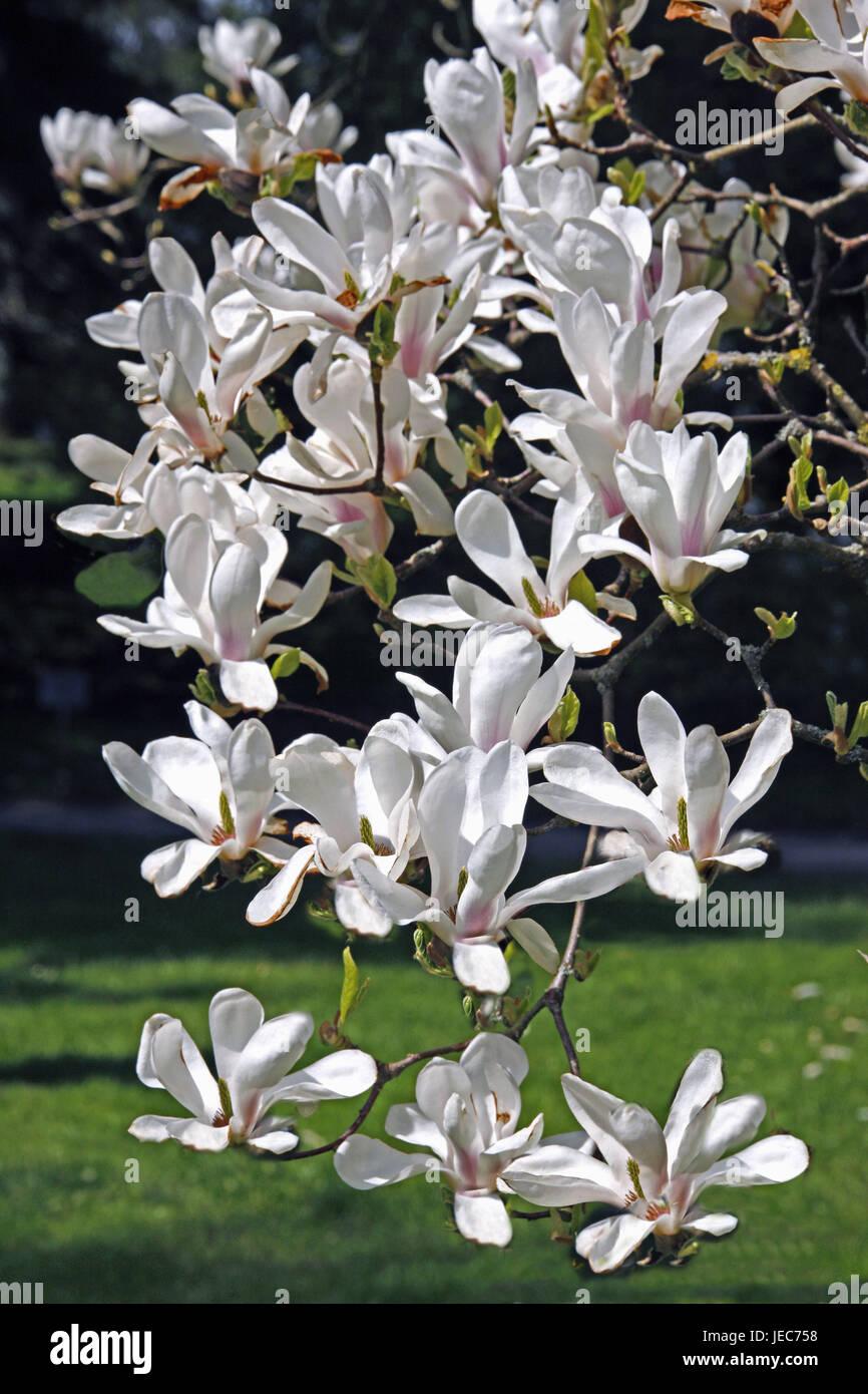 Magnolia blossoms, medium close-up, de l'Allemagne, Bade-Wurtemberg, Lac de Constance, le printemps, la saison, Photo Stock
