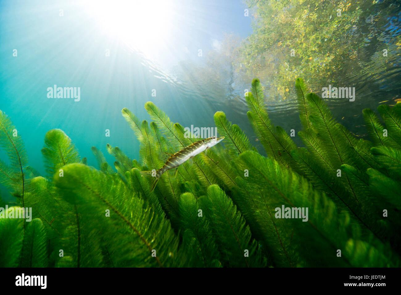 Hecht; Hecht im Flachwasser hechtartiger Raubfisch;;;;; Knochenfisch Süsswasserfisch Süsswasser Tausendblatt Banque D'Images