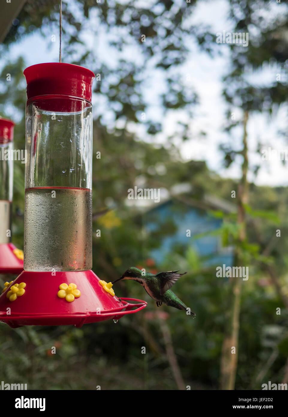 Oiseau de ronflement d'alcool et de la mangeoire Photo Stock