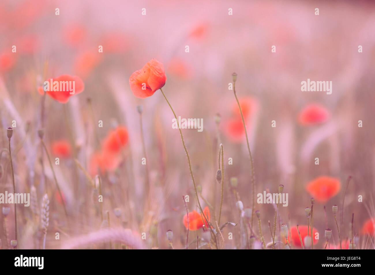 Coucher du soleil en fleurs de pavot Photo Stock