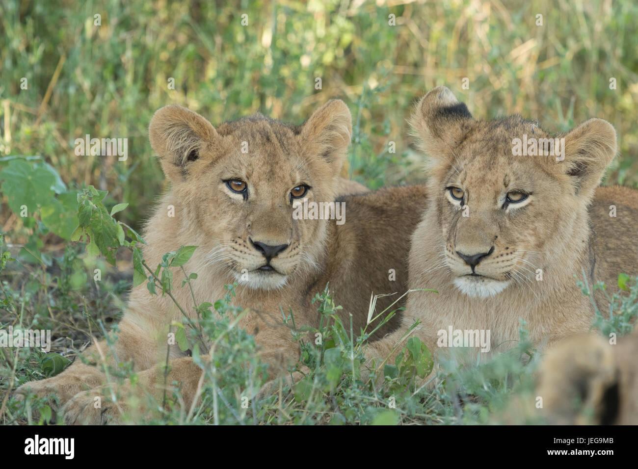 Deux lionceaux mignons lying in grass dans la zone sur l'Île Mombo chefs dans le Delta de l'Okavango au Botswana Banque D'Images