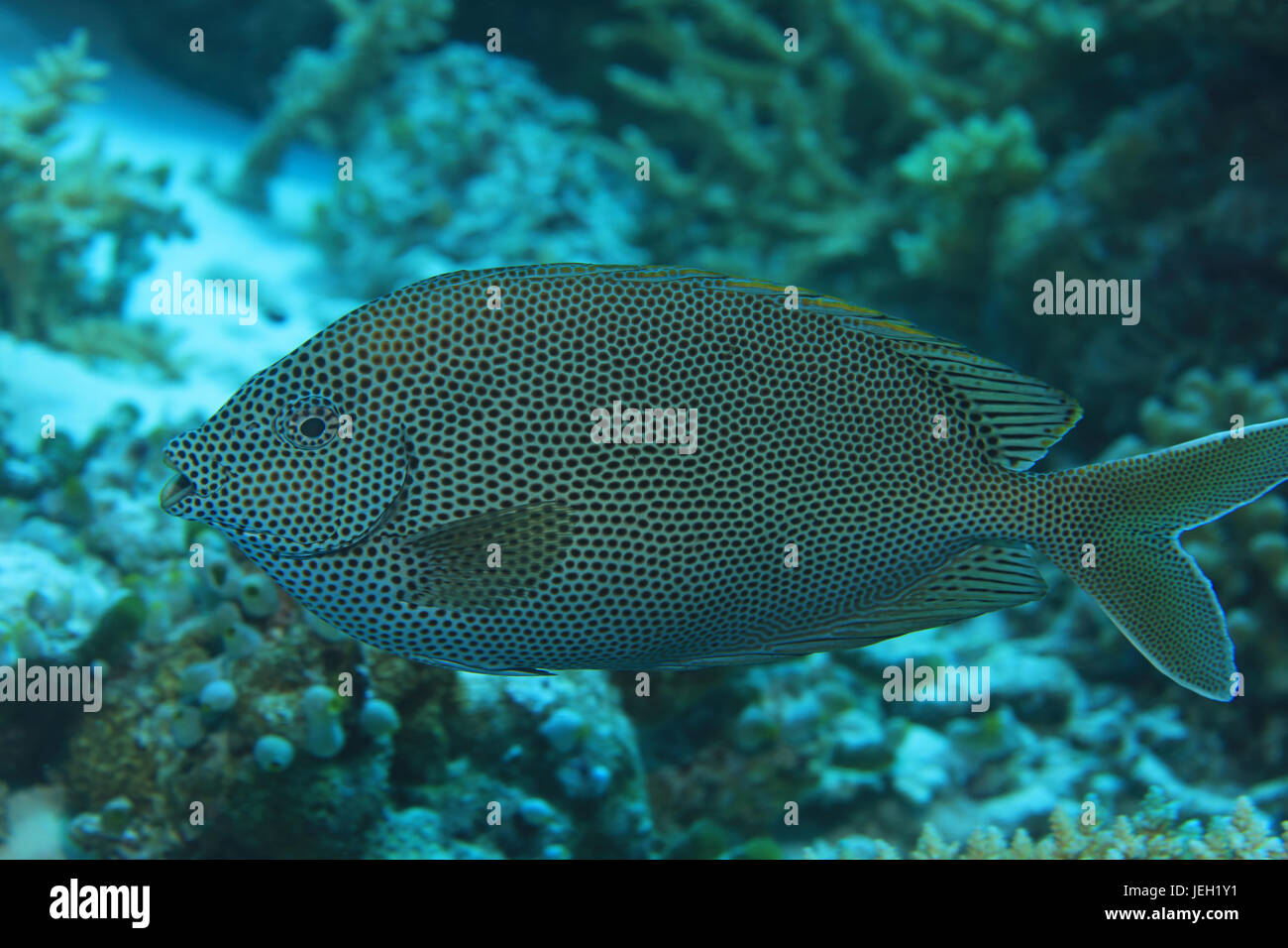Brown-spotted poisson lapin (Siganus stellatus sigan marbré) sous l'eau dans l'océan indien Photo Stock