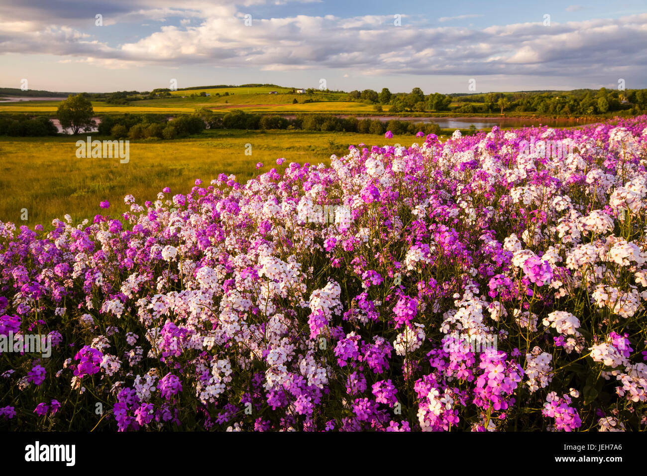 Dame's Rocket (Hesperis matronalis) fleurs sauvages dans soleil du soir; Shubenacadie (Nouvelle-Écosse), Photo Stock