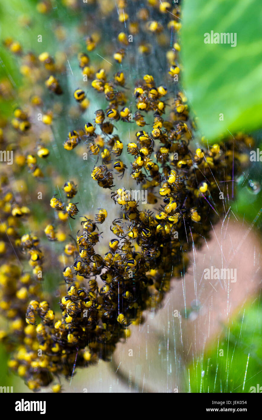 Jardin araignée européenne (Araneus diadematus) petits Photo Stock