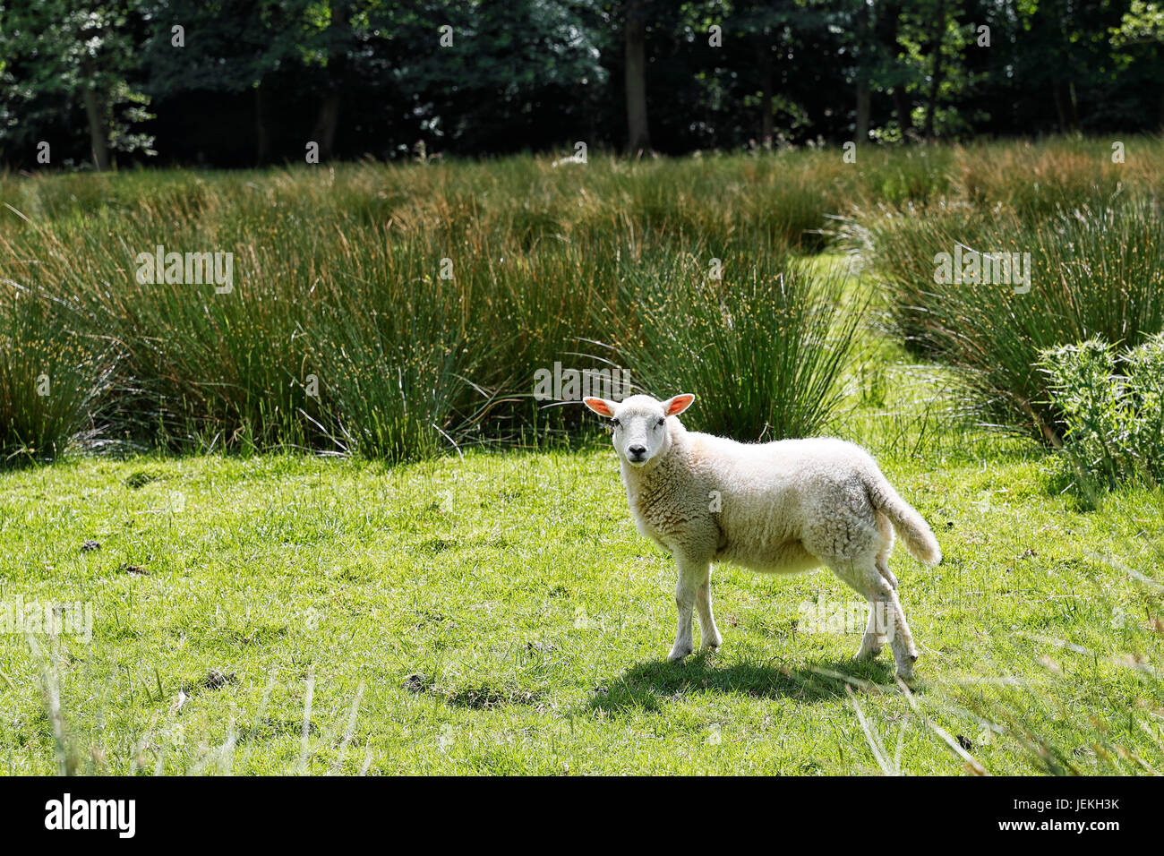 Un agneau dans les plaines du pré en début de juin Photo Stock