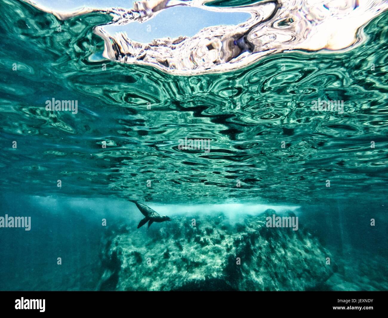 Un lion de mer de Californie, Zalophus californianus, nage dans les eaux au large de couple sitting in Beach chairs. Photo Stock