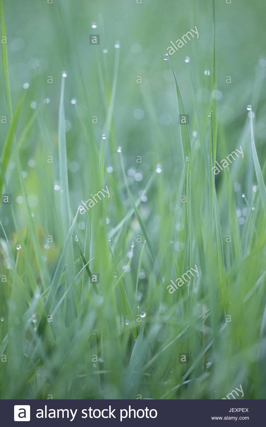 Close up de brins d'herbe avec des gouttes de rosée sur leurs conseils. Photo Stock