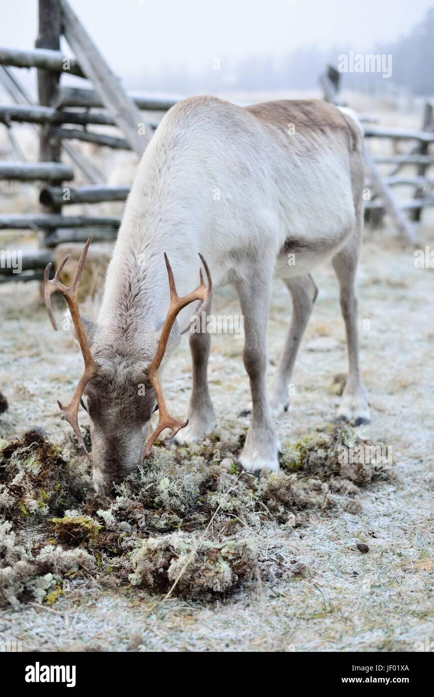 Manger du renne en Laponie finlandaise moss. Banque D'Images