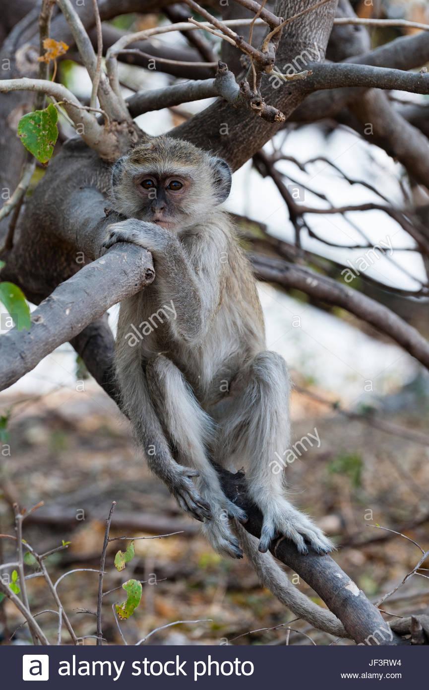 Portrait d'un singe vervet, Cercopithecus aethiops, assis sur une branche d'arbre. Photo Stock