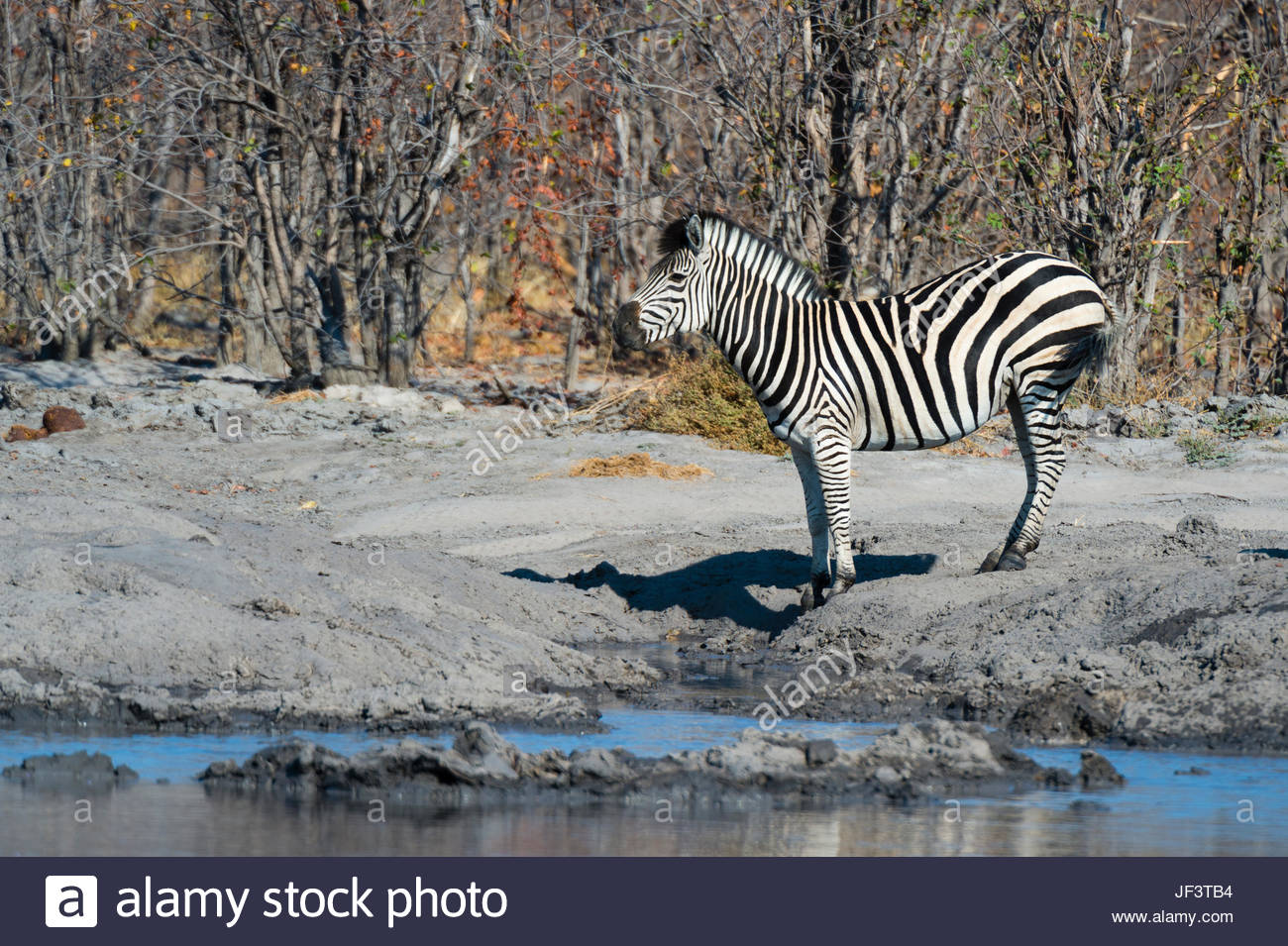 Portrait d'un ou de Burchell zèbre des plaines, Equus burchelli, à un trou d'eau. Banque D'Images