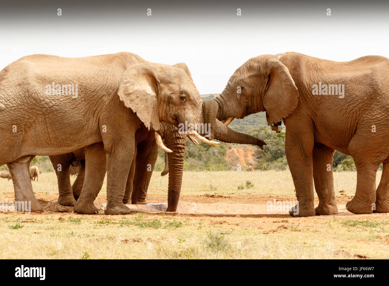 Bush d'éléphant twist Photo Stock