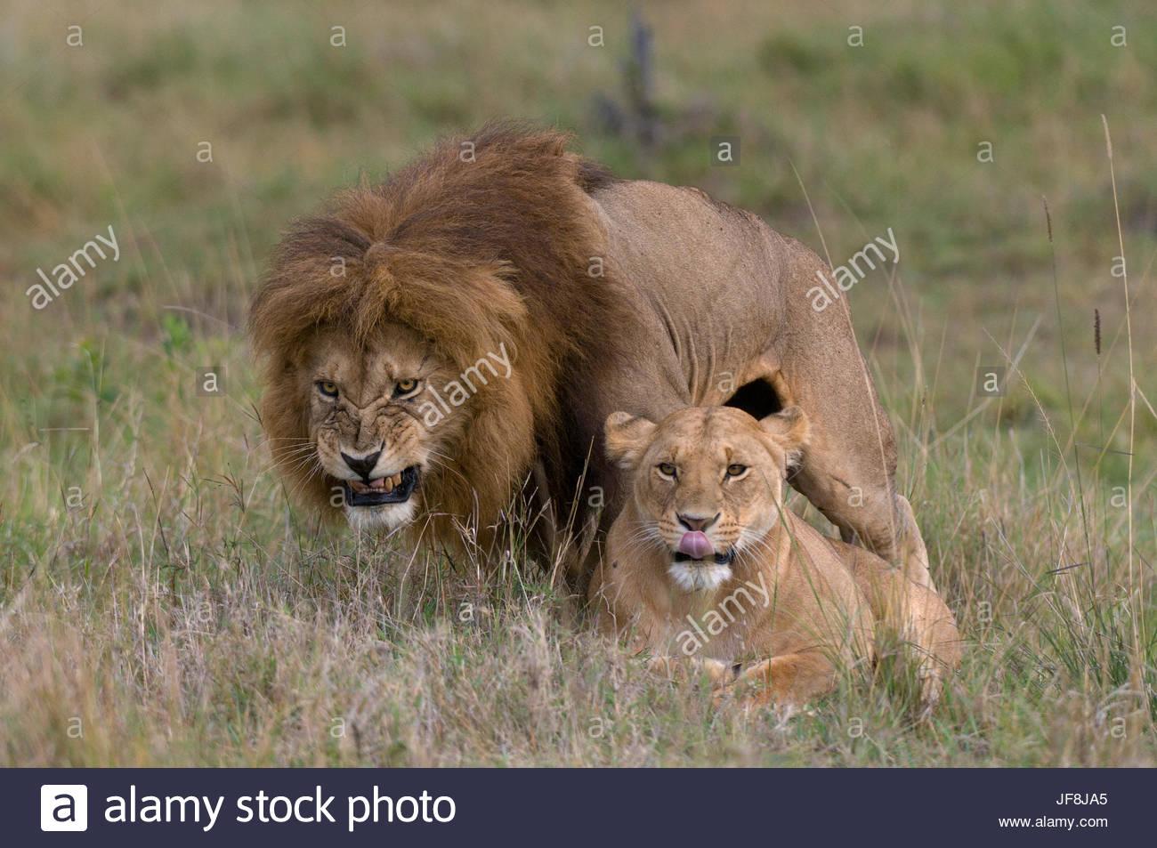 Un homme lion, Panthera leo, grognements qu'il s'accouple avec une femelle 2222 ci-dessous. Photo Stock