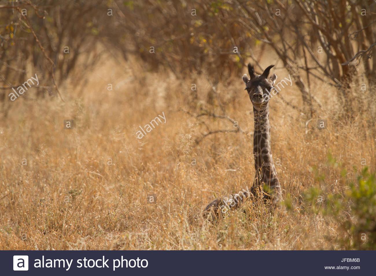 Un adolescent girafe se cachant dans les hautes herbes. Photo Stock