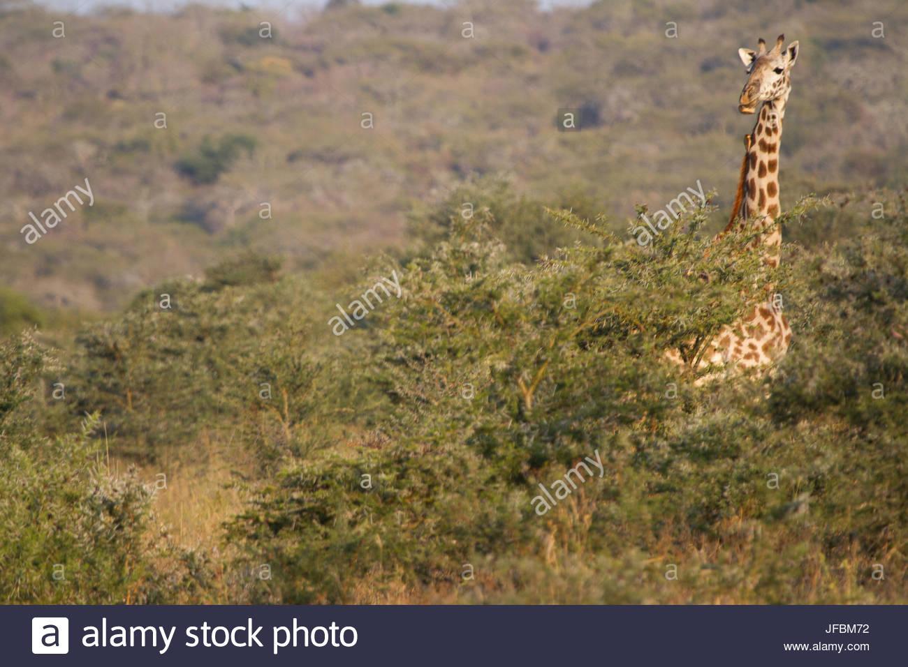 Une girafe, tête au-dessus de la cime des arbres sur la steppe Masaï. Photo Stock