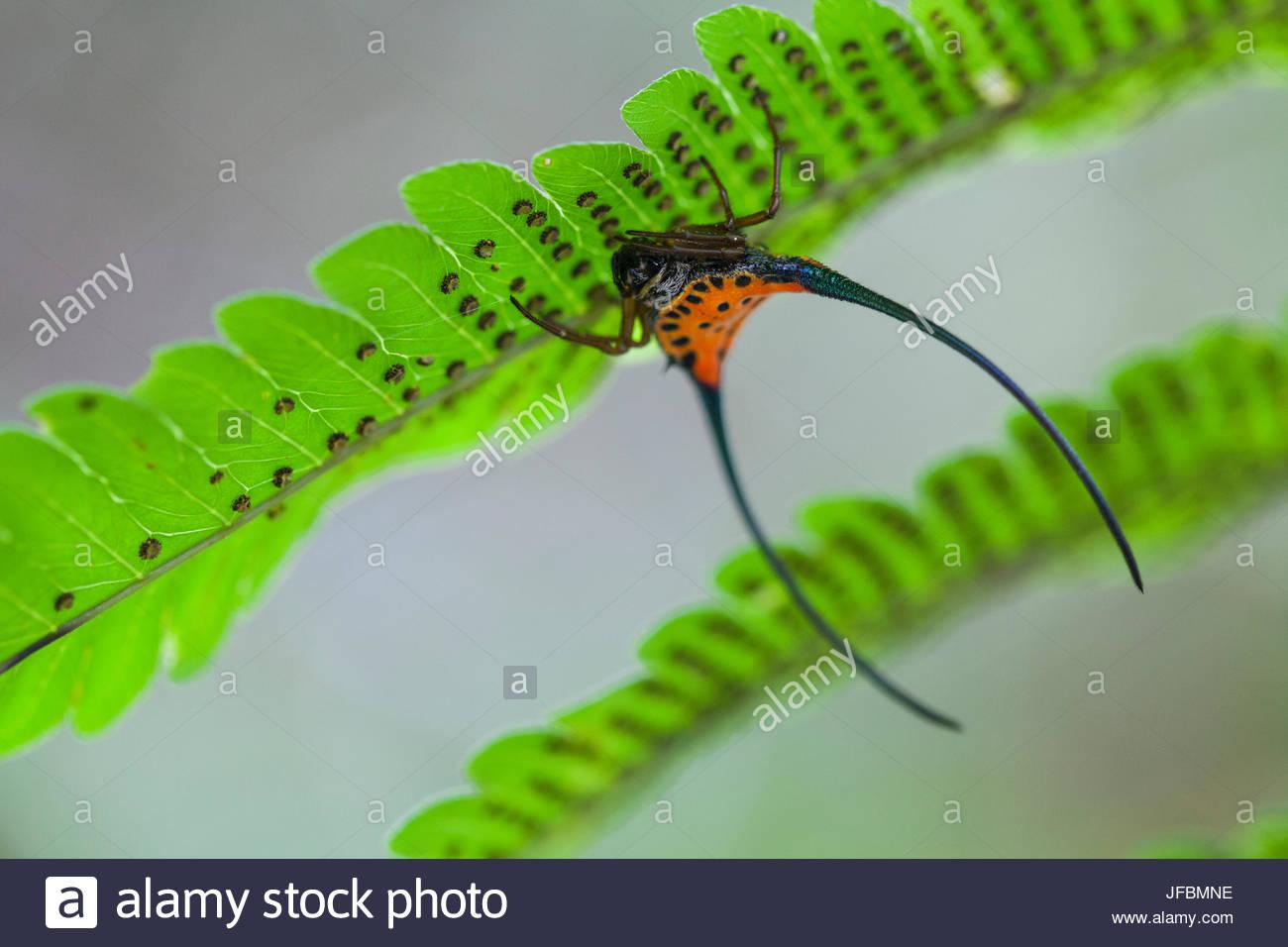 Un crabe épineux, Gasteracantha orbweaver arcuata, tête en bas sur une fougère dans la forêt Photo Stock